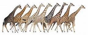 giraffe species - Bing images