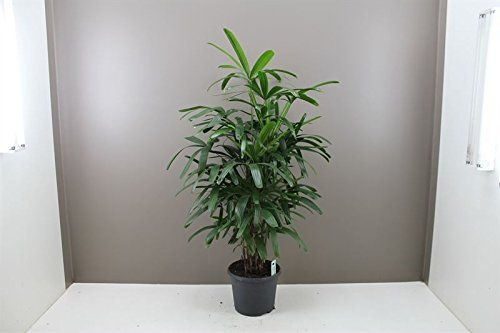 Elegant Indoor Lady Palm Rhapis Excelsa - Easy Care Luxurious Next Day Delivery palm tree, Christmas gift, Christmas Presents, Xmas presents, Xmas gift, for him her mum dad brother sister grandparents. Best4garden http://www.amazon.co.uk/dp/B00PY5YCBE/ref=cm_sw_r_pi_dp_EqYDub0HN8TSM