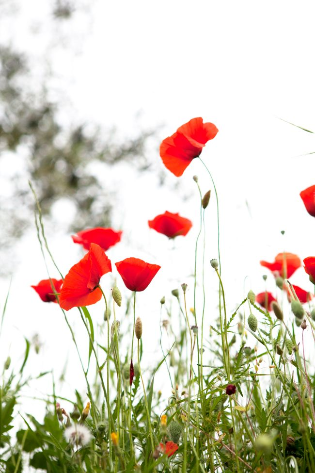 wild poppies in Tuscany | Cannelle et Vanille