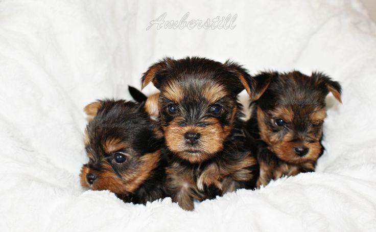 Chiots yorkshire terrier lof > Acheter un chiot Yorkshire Terrier > 83 - Var France - Eleveurs-Online.com