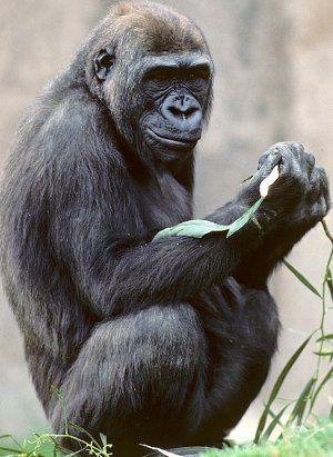 Researchers announce today that they have completed the genome sequence for the gorilla