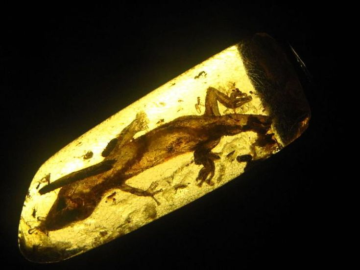 23 million year old lizard in amber. some soft tissue preserved. previously unknown species.