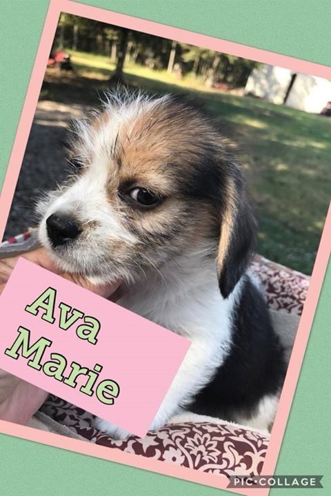 Meet Ava Marie, an adoptable Beagle looking for a forever home. If you're looking for a new pet to adopt or want information on how to get involved with adoptable pets, Petfinder.com is a great resource.