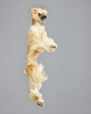 Best Hilarious Flying Dogs Images On Pinterest Creative - Hilarious photographs dogs floating mid air