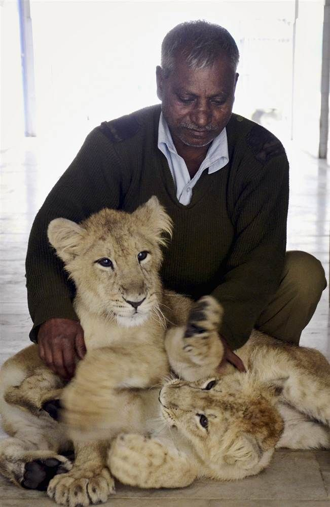 Grrrrrreat playing with you                 An Indian worker holds two lion cubs at Patna Zoo in India on Jan. 10.