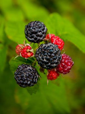 Everything about growing berries.
