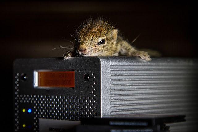 The Iron Ammonite: Raising Rob - The world's cutest baby palm squirrel