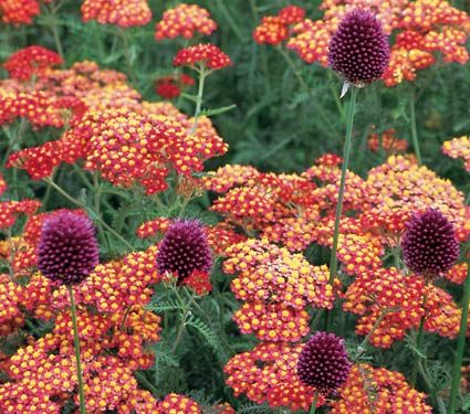 Achillea & Allium Collection - Red Highlights - White Flower Farm Love this combo for the south side of the house!