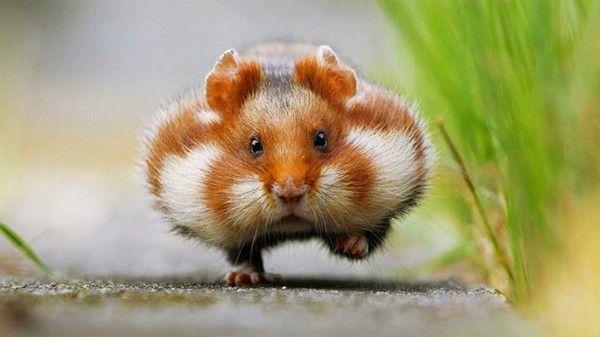 25 Susse Tierbilder Die Einem Die Laune Sofort Bessern Susse Hamster Susseste Haustiere Tiere