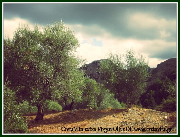 """It's always tempting to do """"just one more tree."""" #OliveOil #Crete Island #Greece"""