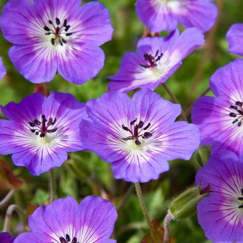 17 best images about flowers on pinterest fonts for Les plantes vivaces