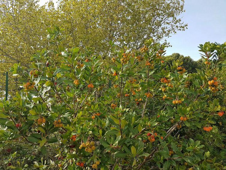 Infos : https://designedbykyonyx.wordpress.com/2016/10/24/arbousier-fruite/  #s7edge #snapseed #fruits #arbousier #galaxys7edge
