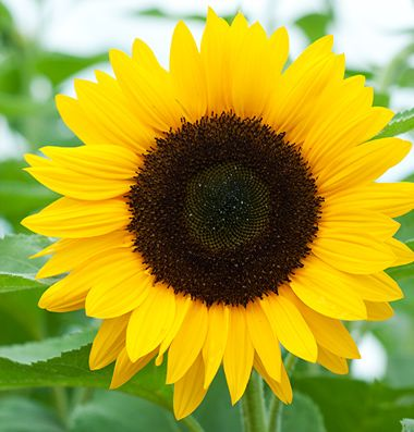 summer sunflowers andrea - photo #14