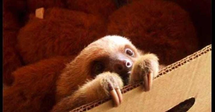 Sloths, of the families Megalonychidae and Bradypodidae (two0toed and three-toed, respectively) are distant relations of anteaters, and make their homes in the jungles of Central and South America. They are known for their chill, slow-moving attitudes, and, spoiler alert (!) they're adorable....