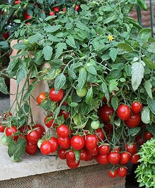 54 Best Hanging Tomatoes Images On Pinterest Tomato