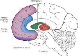 anterior cingulate cortex - Google Search