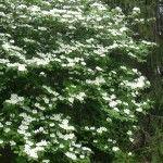 Caring for white spirea shrubs