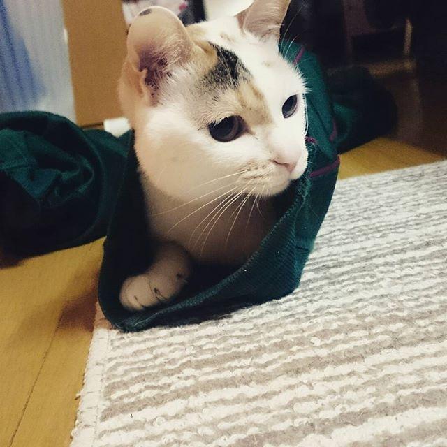 おはりんこさん🐱がジャージの裾から ドーーーーーンっ!!!! ちなみにジャージは緑陵な😏笑 可愛えぇのおおぉ~😂← #おはぎ#猫#愛猫#可愛い#親バカ#三毛猫#ぶち猫 #美人