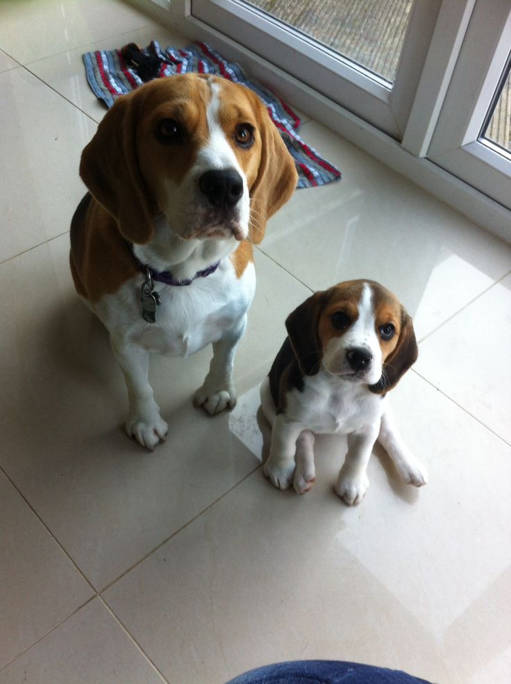 1000 images about beagles de todos sabores on pinterest beagle puppies lemon beagle and. Black Bedroom Furniture Sets. Home Design Ideas