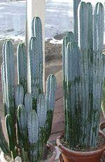 buy San Pedro cactus, Trichocereus Pachanoi, Bridgesii, Peruvian Torch for sale