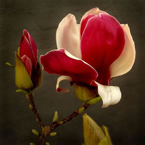 I want to grow this variety of magnolia ~ imagine having these blooms for arrangements!!!
