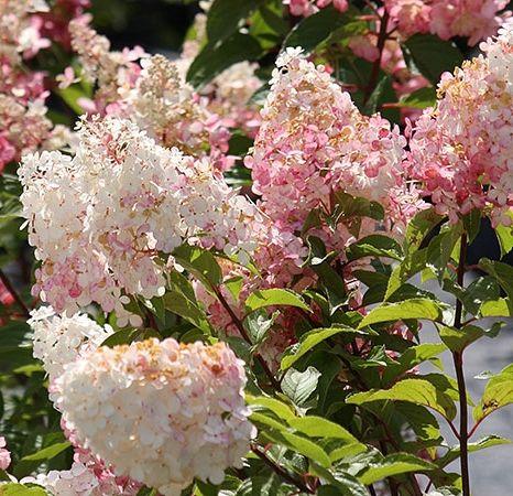 10 new hydrangeas youu0027ll want to grow now vanilla strawberry - Vanilla Strawberry Hydrangea