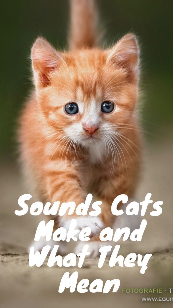 Sounds Cats Make And What They Mean Cats Mean Cat Cat Meow Meaning