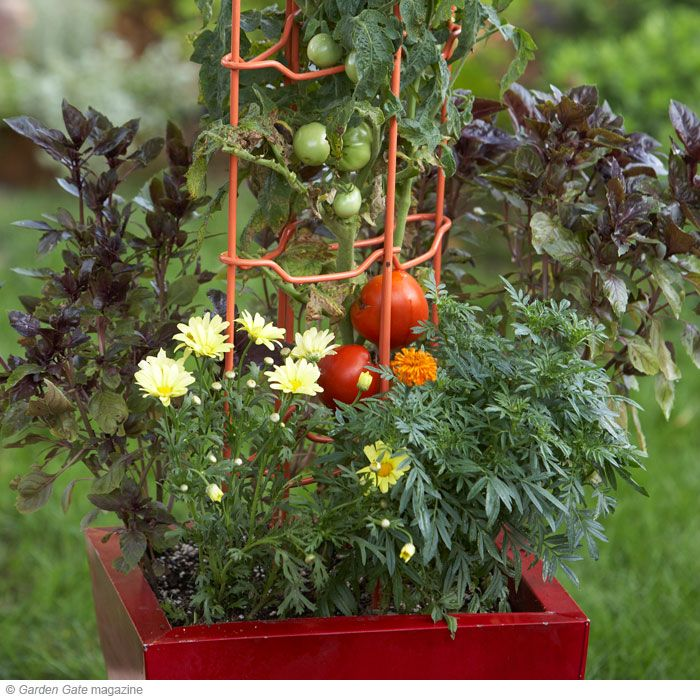 1000 Images About Tomatoes 2016 On Pinterest Tomato 400 x 300