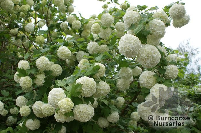 viburnum opulus 39 roseum 39 snowball tree 39 sterile 39 white sterile flowers sometimes turning. Black Bedroom Furniture Sets. Home Design Ideas