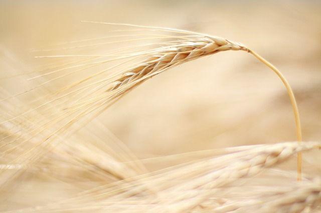 barley-229079_640
