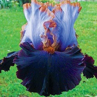 Tall Bearded German Iris Edge of the World