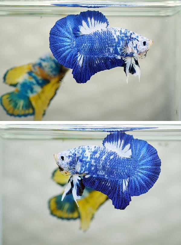 Marble halfmoon plakat betta fish pinterest for Purple koi fish for sale