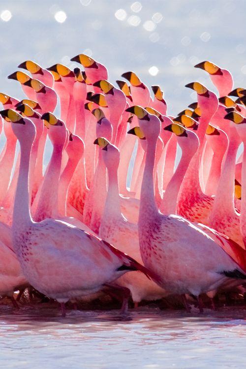 Amazing Photography | Flamingo.Mating Ritual | Alex Shar - Google+  | furkl.com/mating-ritual/ #flamingos
