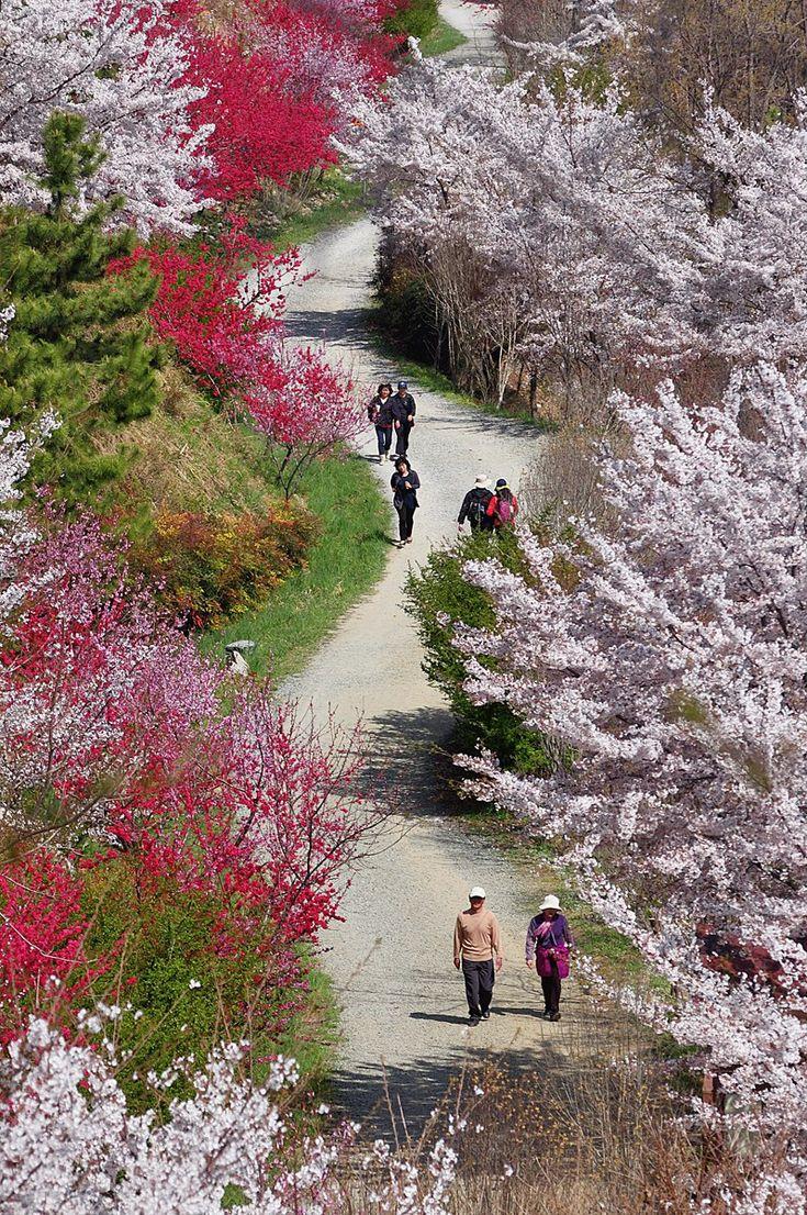 Cherry blossoms of Jinhae city, Korea