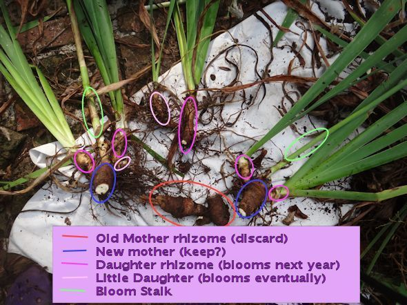 How to divide iris; includes how to identify the mother and daughter rhizomes, and what to replant and what to throw out.