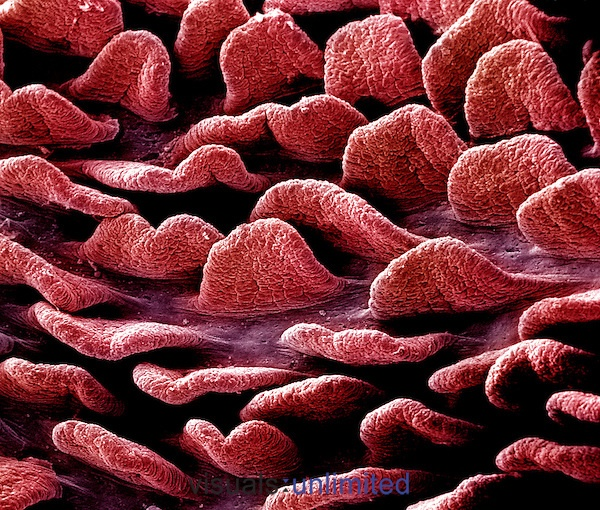 Close-up of the tongue-shaped villi of the jejunum region of the small intestine as viewed from the lumen.  **On Page Credit Required**