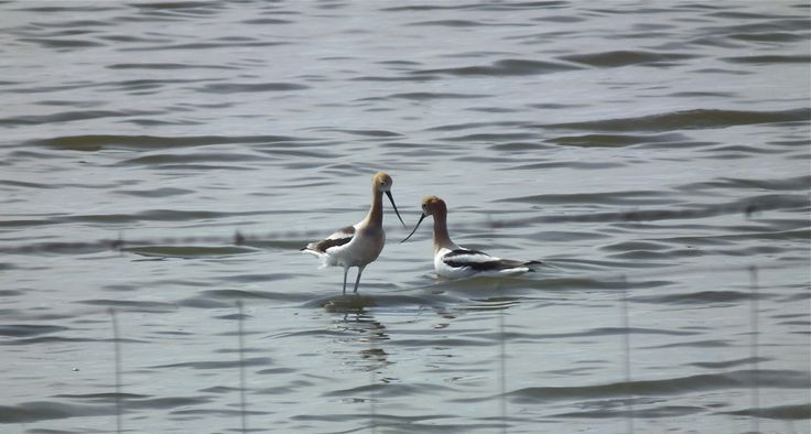 Avocets, near Langdon, Alberta, early spring