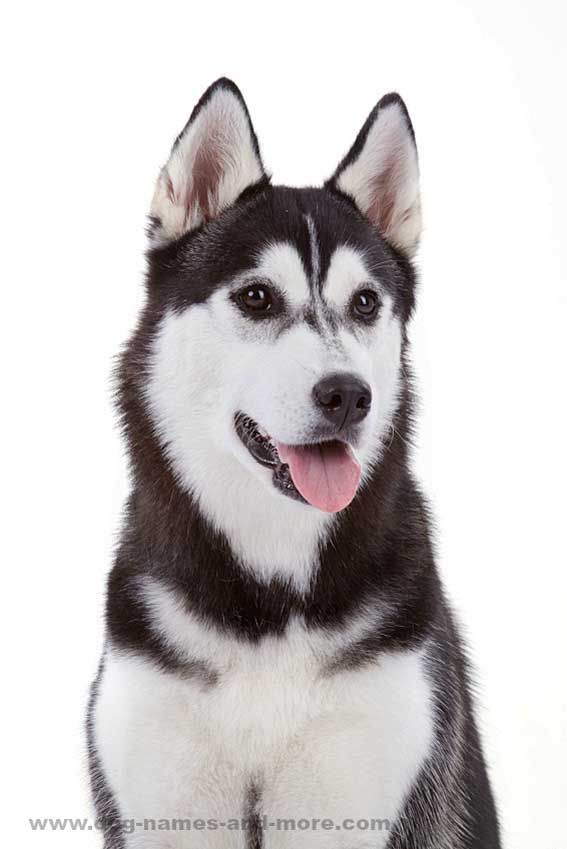 Siberian Husky Names For Unique Male Female Huskies White