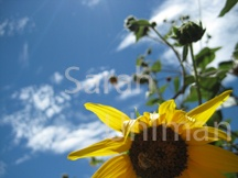 Sunflower.  Credit: Sarah Uhlman