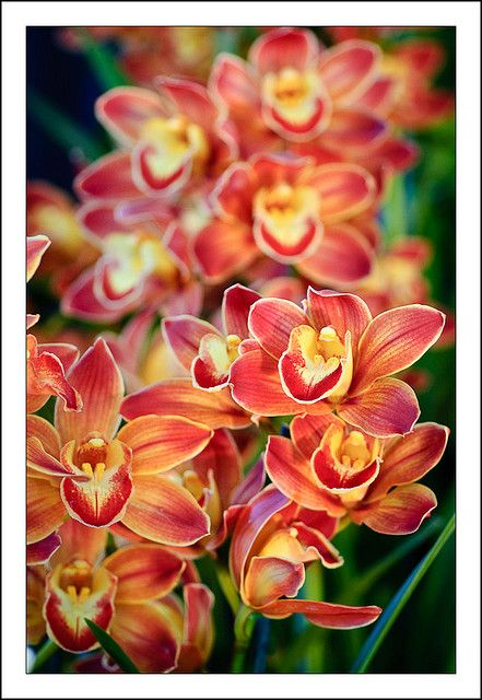 Cymbidium - lovely colors.. Beautiful winter orchids. Long vase life too.