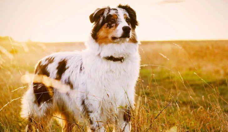 The Domestic Dog Australian Shepherd Puppy Australian Shepherd Puppies For Puppy Temperament Blue Merle Colors Merle