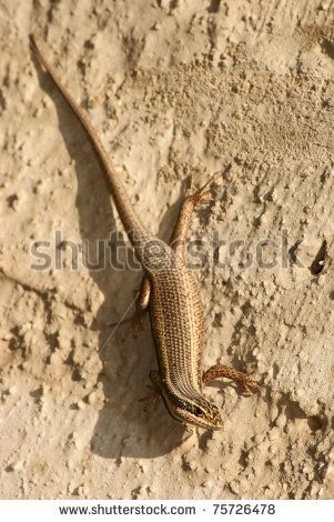 Lizard on wall.