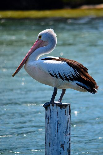Pelican @ Forster N.S.W
