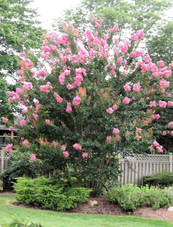 how to make a crepe myrtle bush into a tree