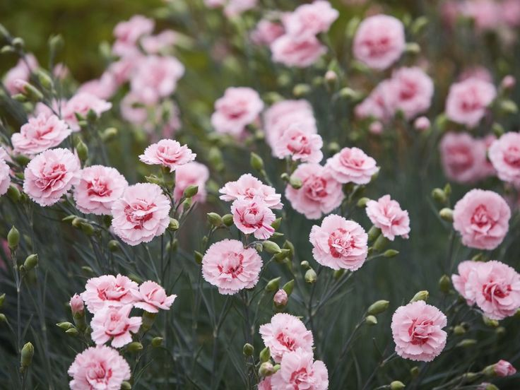 Œillet des fleuristes ( Dianthus caryophyllus )