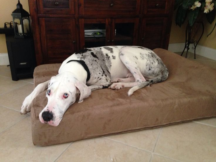364 Best Images About Great Danes On Pinterest Harlequin
