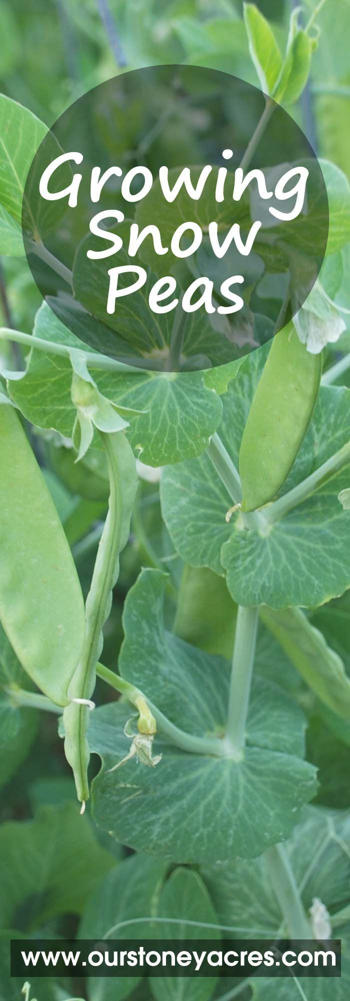 Growing snow peas is an easy process that starts early in the spring and can even be done in the fall. This growing guide will give you the basics needed to get a great crop of snow peas this year.