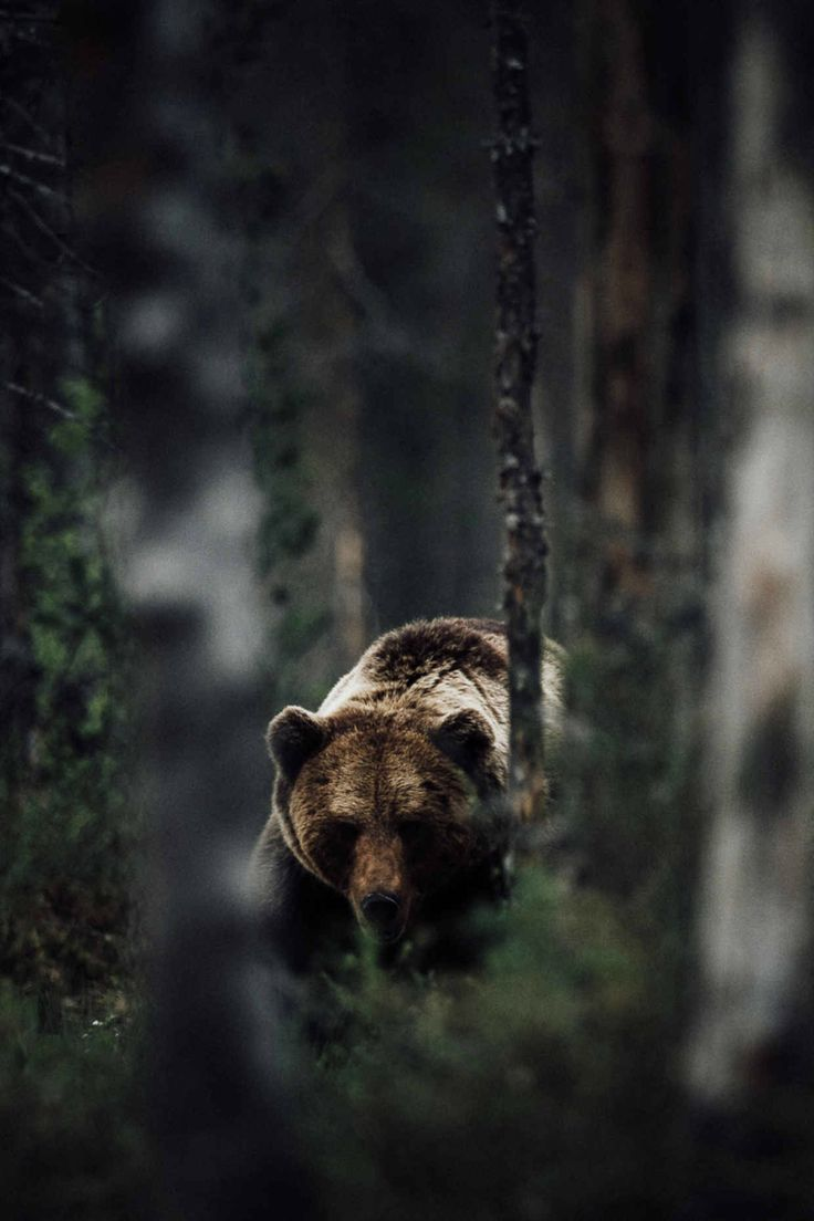 "A Grizzly Bear:  ""Deep in The Forest."""