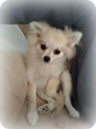 AKC Pomeranian Breeder | Pomeranian puppy uglies