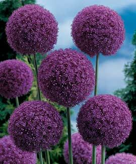 Giant Allium...neighbor has these. Always wondered what they were. Beautiful & offer such great height!